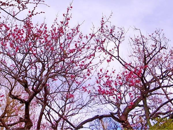羽根木公園は梅が咲いてた